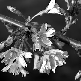 THE SPRING TREE by Wojtylak Maria - Black & White Flowers & Plants ( spring, flowers, cherry tree, blooming, tree, black and white, branch )