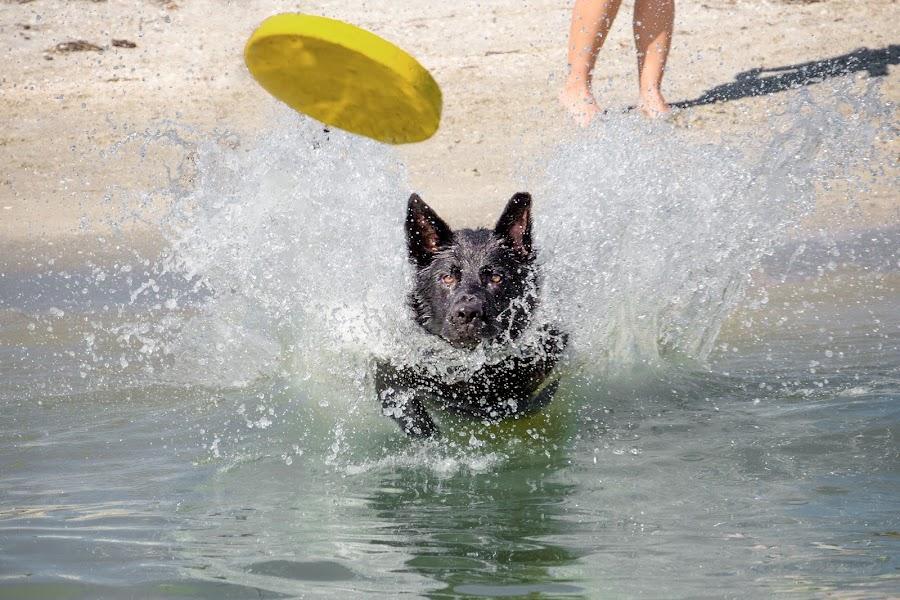 splashing by Meaghan Browning - Animals - Dogs Playing ( water, splash, retrieve, ocean, german shepherd )