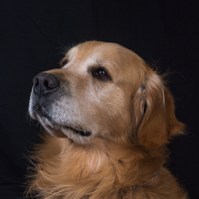 Golden by Cristobal Garciaferro Rubio - Animals - Dogs Portraits ( male, dog, golden )