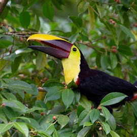 Swainson's toucan sitting on a tree (14) by Johannes Oehl - Animals Birds ( adventure tourism, ramphastos, leaf, leaves, ramphastos ambiguus, exploration, swainson's toucan, aves, sustainable tourism, forest-green, color image, adventure and extreme, piciformes, lovely, head, central america, eye, fruit, one object, forest, beauty in nature, rainforest, grace, tropical climate, la fortuna, ramphastos swainsonii, sweet, ramphastidae, vulnerability, telephoto, large, wildlife-photography, natural light, america, bill, yellow-throated toucan, up shot, omivore, wildlife, tropical zone, blur, beauty, ecotourism, ramphastos ambiguus swainsonii, sweetness, pretty, creative image, responsible tourism, alajuela, wildlife tourism, nature and rural, adventure, daytime, midday, jungle tourism, attractive, costa rica, animal, peaceful, green, beautiful, chordata, shy, green background, adult animal, paradise, close-up, bird, blurred, wilderness, blurred background, beak, rain forest, chestnut-mandibled toucan, low-impact, animal-photography, wide-eyed )