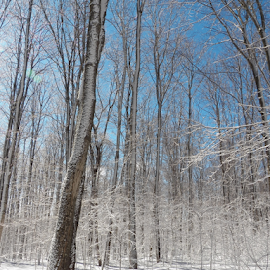 After the Freezing Ice Rain by Tina Tippett - Landscapes Forests ( forests, trees, landscapes,  )