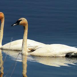 Swan Lake by Amanda Pietrangelo - Animals Birds ( water, two, swans, duo, blue )