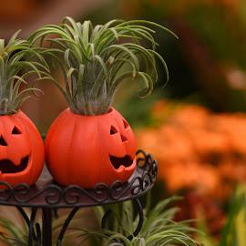 Pumpkin Plants by Lorraine D.  Heaney - Public Holidays Halloween