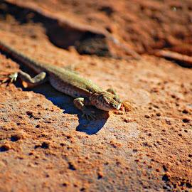 Desert Dweller by Ally Skiba - Animals Reptiles ( moab, desert, arches national park, utah, sunset, nature up close )