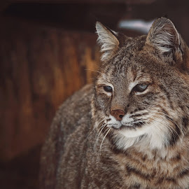 Bobcat lynx by Ondřej Chvátal - Animals - Cats Portraits ( fur, feline, bobcat, lynx, winter, muzzle, portrait, eyes, look, cat, carnivore, detail, zoo, wild, wildlife, czech,  )