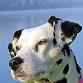 Just thinking by Karen Noble - Animals - Dogs Portraits (  )