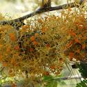 Golden Eye Lichen