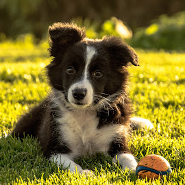 Puppy Sky by Thyra Schoonderwoerd - Animals - Dogs Puppies ( border collie, sky, puppy, dog, posing )