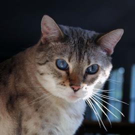 Suki by Christine Urick - Animals - Cats Portraits
