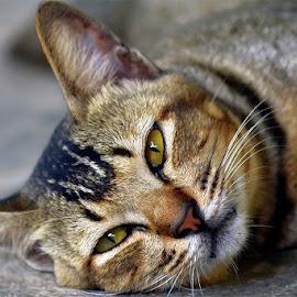 ct by Sandi Nopri yanto - Animals - Cats Portraits