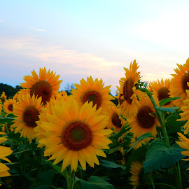 Sunflowers and a Brilliant Sky by Kristine Nicholas - Novices Only Flowers & Plants ( clouds, green, sunflower, leaf, yellow, leaves, landscape, sun, macro, sky, nature, blue, nature up close, cloud, pink, flowers, flower )