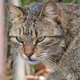 by Boris Buric - Animals - Cats Portraits (  )