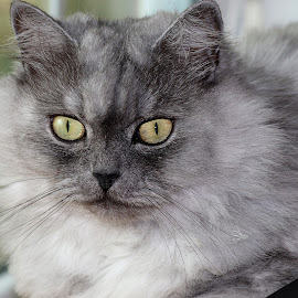 Leo the LionCat by April Nowling - Animals - Cats Portraits ( cat, pet, feline, persian cat, dollface persian )
