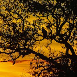 Vulture at Sunset by Simon Shee - Landscapes Sunsets & Sunrises ( bird, vulture, national park, kasanka np, sunset, zambia, wildlife, robin pope safaris, africa )