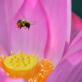 Lotus and a bee by Nezih Durusu - Flowers Flowers in the Wild ( lotus flower bee )