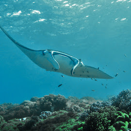by Phil Bear - Animals Sea Creatures ( coral reef, ray, reef, manta ray, indonesia, komodo, manta )