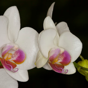 Orchid on Black by Dora Korz - Nature Up Close Flowers - 2011-2013 ( nature, on black, close up, flower )