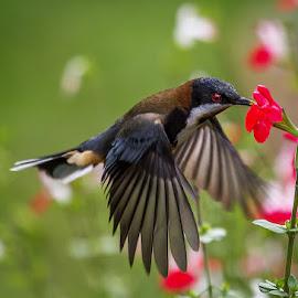 Eastern Spinebill by Gary Beresford - Animals Birds ( spinebill, nectar, australia, hover, feathers )