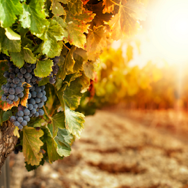 by Deyan Georgiev - Nature Up Close Gardens & Produce ( plant, countryside, vineyard, grapevine, evening sun, vivid, land, viticulture, valley, yellow, leaves, glow, landscape, grapevines, sun, farm, sky, nature, grapes, autumn, fresh, grape, dramatic, winery, wine, vine, green, agriculture, tourism, scenic, growing, agricultural, rural, saturated, country, field, red, season, color, vineyards, sunset, grow, outdoor, summer )