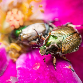 Beetle by Sarath Sankar - Animals Insects & Spiders