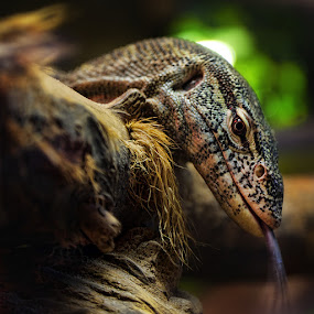Iguana by Anthony D'Angio - Animals Reptiles
