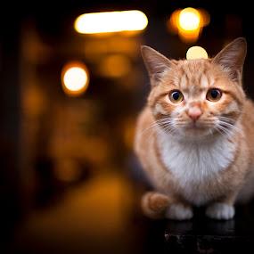 Ready to pounce by Jonny Lim - Animals - Cats Portraits ( cat )