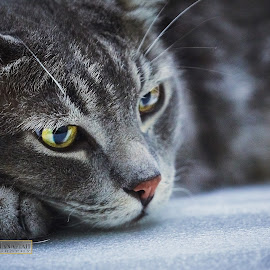 Patiently waiting for his dinner meal at regular 7:00pm by Malek Hanafiah - Animals - Cats Portraits