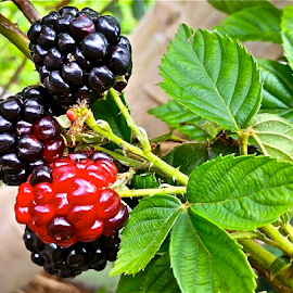 { Dew Berry's On the Vine ~ 21 July }  by Jeffrey Lee - Nature Up Close Gardens & Produce ( { dew berry's on the vine ~ 21 july } )