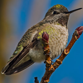 Our Local Guardian Hummingbird by Sparty Rodgers - Animals Birds ( nikon d800, hummingbird, avian species, anna's hummingbird, nikon 300mm f4 af-s lens,  )