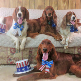 Yankee Doodle Setters by Carol Evanetz - Animals - Dogs Portraits