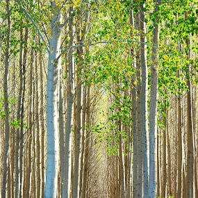 by Ryan Snow - Landscapes Forests