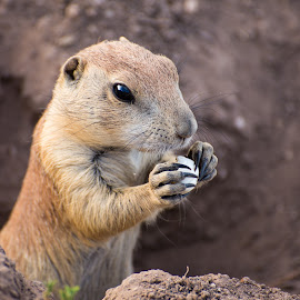 Prairie Dogs Dinner by B Grant - Novices Only Wildlife ( my1eye, prairie dog, nature, food, wildlife, eating, claws )