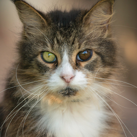 Ronnie by Annette Flottwell - Animals - Cats Portraits ( tomcat, elrond, maine coon, guanacaste, ronnie,  )