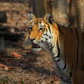 The Royal Look. by Soham Chakraborty - Animals Lions, Tigers & Big Cats ( wild, predator, national park, tiger, royal, wildlife, forest, india, stripes, bengal, daylight )