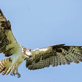 by Ioannis Alexander - Animals Birds ( flying, bird of prey, wings, wildlife, osprey )