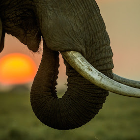 Tusker Sunset by Jaideep Abraham - Animals Other Mammals ( holiday, sunset, elephant, safari, wildlife, kenya, travel, tusker, africa )