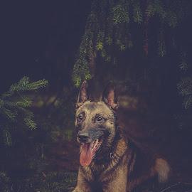 Resting by Wilma Heuvel - Animals - Dogs Portraits ( maashorst, dogs, honden, mallinois, dog, mechelse herder, hunde, animal )