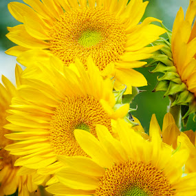 SUNFLOWERS by Dieter A - Nature Up Close Flowers - 2011-2013