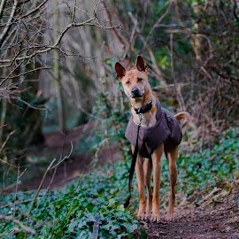 Dog in the woods by Jenny Trigg - Animals - Dogs Portraits ( rescue dog, dog, woods, pharoah hound )