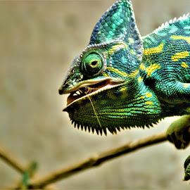 by Karel Kotrč - Animals Reptiles ( hunter, green, feeding, yellow, chameleon )