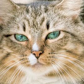 Nola by Sheen Deis - Animals - Cats Portraits ( cats, animals, pets )