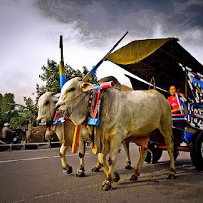 Gerobak Sapi by Rudi Yanto - City,  Street & Park  Street Scenes ( carriage, indonesia, sapi, gerobak, traditional, cart, java, transportation )