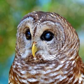 Owl by Jarrod Unruh - Animals Birds ( outdoors, owl, nature, bird photography, bird, nature up close, animals, owls, eyes )