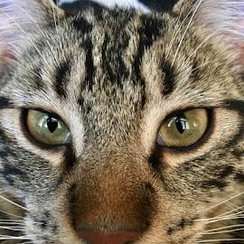 Those Eyes! by Lori Fix - Animals - Cats Portraits