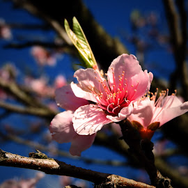 Sring Blossoms by Bill Martin - Flowers Tree Blossoms ( tree, nature, delicate, pink, beauty, spring, flower )