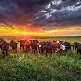 Kansas Crowd by Jonathan Tasler - Landscapes Prairies, Meadows & Fields ( clouds, field, hills, flint hills, colorful, grass, sunset, midwest, cow, plains, cattle, prairie, kansas, cows )