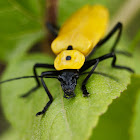 Yellow Soldier Beetle