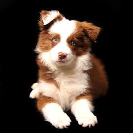 Ziggy blue eyes. by Jenefer Zeitsch - Animals - Dogs Puppies