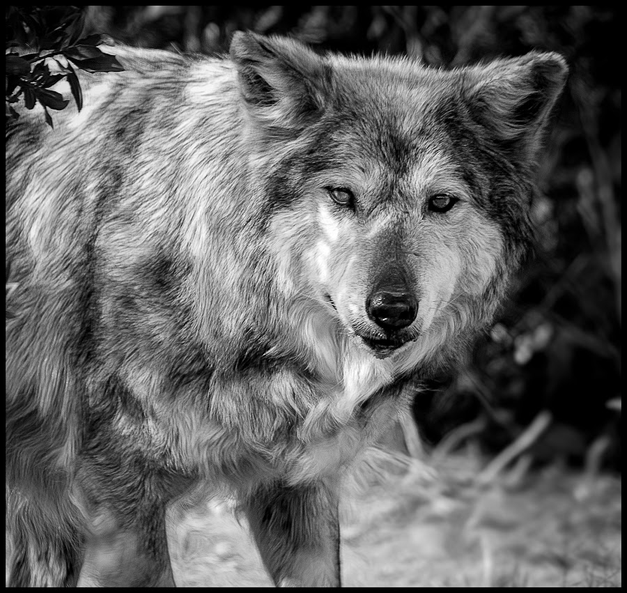 Mexican Gray Wolf by Dave Lipchen - Black & White Animals ( mexican gray wolf )
