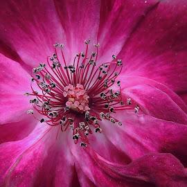 Purple Rose by Irina Kartashova - Flowers Single Flower ( rose, purple, petals, close up, flower,  )